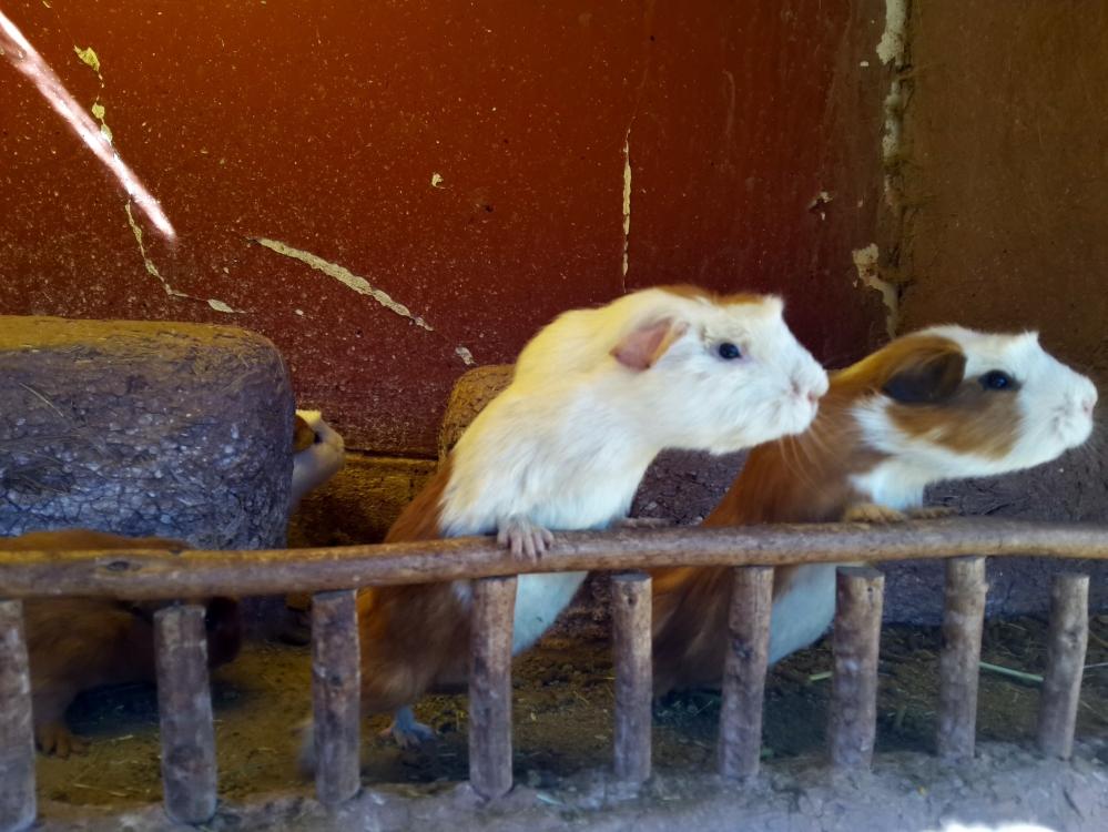 porcellino d'india-cuy-gastronomia peruviana-Perù-America del Sud