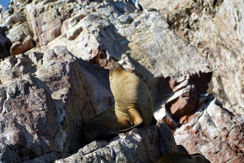 leoni marini-isole ballestas-riserva naturale nazionale-oceano pacifico-Perù-Sud America