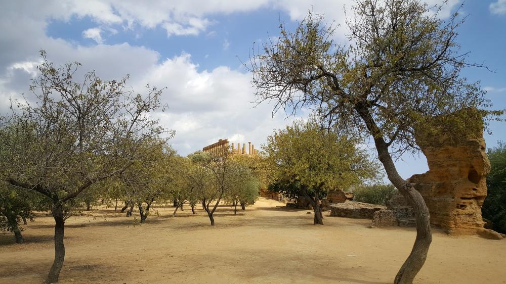 Ulivi-Tempio di Giunone-Parco Archeologico-Agrigento-Sicilia