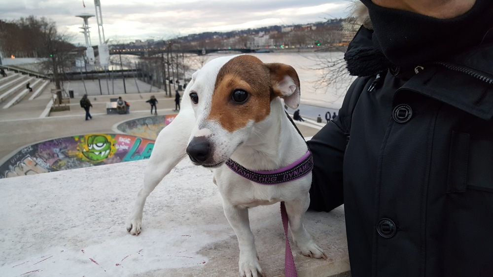 Jack Russell Terrier-Morfina-Cane-Lione